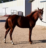 BEAUTIFUL SORREL FILLY  BY TR DUAL REY X HYDRIVE CAT DAUGHTER