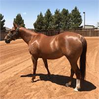 Price Reduced! Finished Cutting mare.