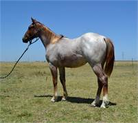 Gorgeous Red Roan Bet Hesa Cat Yearling Stallion for Sale
