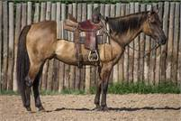 12 Year old Solid Ranch Horse