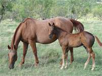 2018 Sorrel horse colt.  NEW Pictures