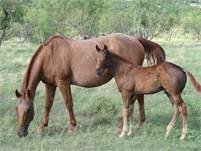 2018 Sorrel horse colt.  King P-234, Poco Bueno,  Dun Commander, Hollywood Gold, and Stampede Dude b