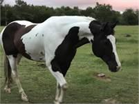 APHA Black and White Gelding-Kites Diamond Doc