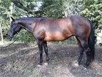Topsail Whiz/Codys Clone broodmare w/earnings in foal for 2021 to Dont Stopp Believin