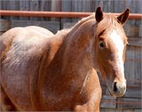 2016 Red Roan Once In A Blu Boon Stallion