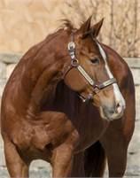 2010 SORREL QUARTER HORSE GELDING