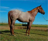 Big Strong Red Roan Bet Hesa Cat Yearling Stallion for Sale