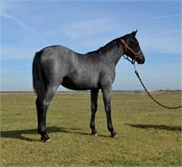 Impeccably Bred Cutting/Cowhorse Blue Roan Stallion Prospect