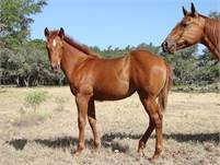 2018 Sorrel Filly.  NEW Pictures