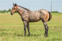 2019 Bay roan filly by Starlights Boomernic