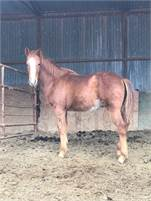 Weaned Stud colt. Solid Paint registered