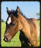 500 to Hold Smokey Blue Roan Colt Wonderful Disposition Loves Kids