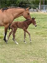 2020 AQHA Bay colt by Chocolate Chic Olena