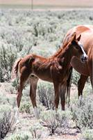 Reminic x Highbrow Cat  Weanling Stud Colt