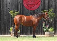 3 yr old mare by WR This Cats Smart