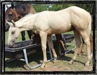 ►$1,750◄ Palomino Colt ~Rope & Barrel Horse Prospect!~ TEXAS