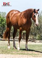 Cow Horse Prospect Deluxe! Gorgeous PEPTOBOONSMAL x DOCS CHRISTMAS Filly