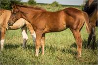 Stout sorrel colt by Makin The News ~ Great cow horse, cutting or versatility prospect