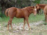 2018 Chestnut Horse Colt.  King P-234, Poco Bueno, Dun Commander, Hollywood Gold, and Stampede Dude