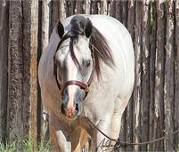 GRAY CUSTOM CROME STALLION FOR SALE