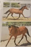 BAY COLT JUDGE BOON X HAIDAS MISS SMILE X HAIDAS LITTLE PEP