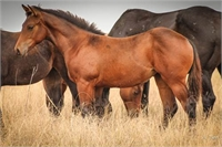 2017 Bay Filly ~ Grand-daughter of Genuine Hombre