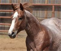 2016 Chromed Up Red Roan Once In A Blu Boon Stallion