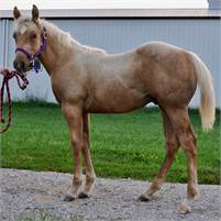 2018 QUICK AND FLASHY PALOMINO CATATOMIC (x HIGH BROW CAT) STALLION