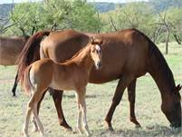 2018 Sorrel horse colt.  King P-234, Poco Bueno, Dun Commander, Hollywood Gold, and Stampede Dude bl