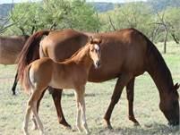 2018 Sorrel horse colt.  King P-234, Poco Bueno, Dun Commander, Hollywood Gold, and Stampede Dude bl