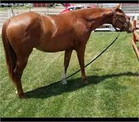 Gorgeous Bama Cat 2 yr old filly