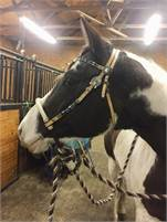 Sane and sound APHA mare