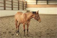 Athletic Dun Yearling by Dont Stopp Believin