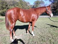 Suzie - 2019 mare by a son of Smart Little Lena