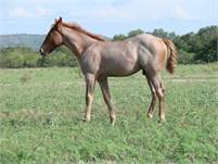 2018 Red Roan horse colt.  King P-234, Peptoboonsmal, Poco Lena, Doc Bar and Peppy San Badger bloodl