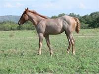 2018 Red Roan horse colt.  King P-234, Peptoboonsmal, Poco Lena, Doc Bar and Peppy San Badger bloodl