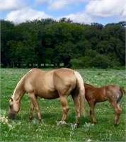 2005 Palomino Mare, King P-234, Doc Bars, Doc O Glo bloodlines
