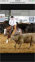 Finished cutter, NCHA $$ Daughter of HIGHBROW CD , Novice eligible