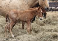 Flashy Red Roan Prospect