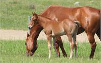 Red Roan Performance Prospect