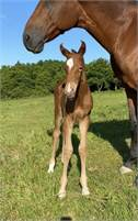 Peppy San Badger / High Brow Cat Filly