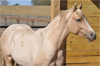 AQHA Grndsn of High Brow Cat & Smart Aristocrat
