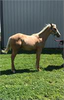 Sharp palomino AQHA yearling