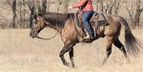 Ziggy ~15.2H, 7 year old, Quarter Horse Gelding