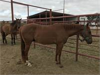 2015 DUAL REY, SMART LITTLE LENA, PEPTPBOONSMAL BRED GELDING