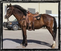 """REDUCED!!►$3,800◄ 2012 BLM Mustang Gelding ~ Under Saddle ~ TEXAS  """"Gus"""""""
