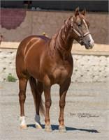 2013 Chestnut Quarter Horse Gelding