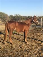 Stout Cat Ichi 2yo gelding