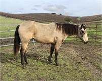 Excellent rope, ranch, sorting and/or barrel prospect
