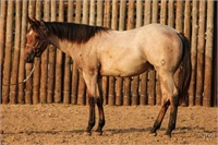 2017 Bay Roan Stallion by Two ID Sweet Jack